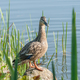female mallard duck - PhotoDune Item for Sale