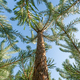 pine trees climbing into a blue sky - PhotoDune Item for Sale