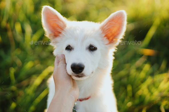 Woman hand caressing cute white puppy face in warm sunset light in summer meadow