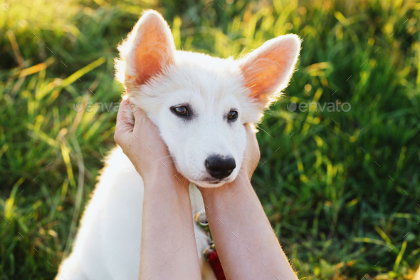 Woman hands caressing cute white puppy face in warm sunset light in summer meadow