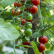 Cherry tomatoes in small organic farm. Bio vegetable concept. Home garden. - PhotoDune Item for Sale