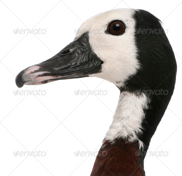 Close-up of White-faced Whistling Duck, Dendrocygna viduata, in front of white background - Stock Photo - Images
