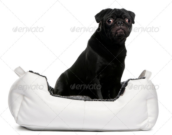 Black pug sitting in dog bed in front of white background - Stock Photo - Images