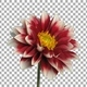 Time-lapse of blooming red white dahlia with ALPHA channel - VideoHive Item for Sale
