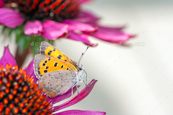 Common copper butterfly collecting nectar on a flower - Stock Photo - Images
