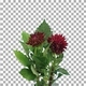 Time-lapse of dying red dahlia flower with ALPHA channel - VideoHive Item for Sale