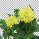 Time-lapse of opening yellow dahlia flower with ALPHA channel - VideoHive Item for Sale