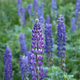 Selective focus image of large-leaved lupines along the Gunflint Trail in northern Minnesota - PhotoDune Item for Sale