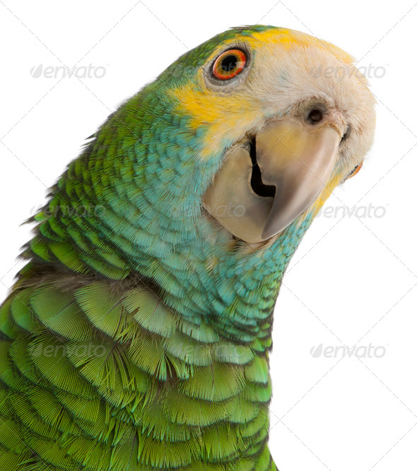 Close-up of Yellow-shouldered Amazon, Amazona barbadensis, in front of white background - Stock Photo - Images