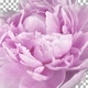 Time lapse of opening and rotating pink Peony flower with ALPHA channel - VideoHive Item for Sale