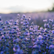 Sunset over a violet lavender field in Greece - PhotoDune Item for Sale
