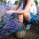 Young woman harvest lavender flowers in field - PhotoDune Item for Sale