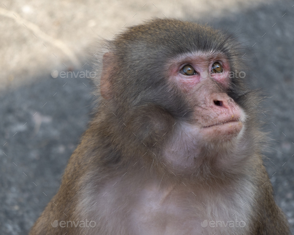 Portrait Of A Japanese Macaque snow Monkey. - Stock Photo - Images