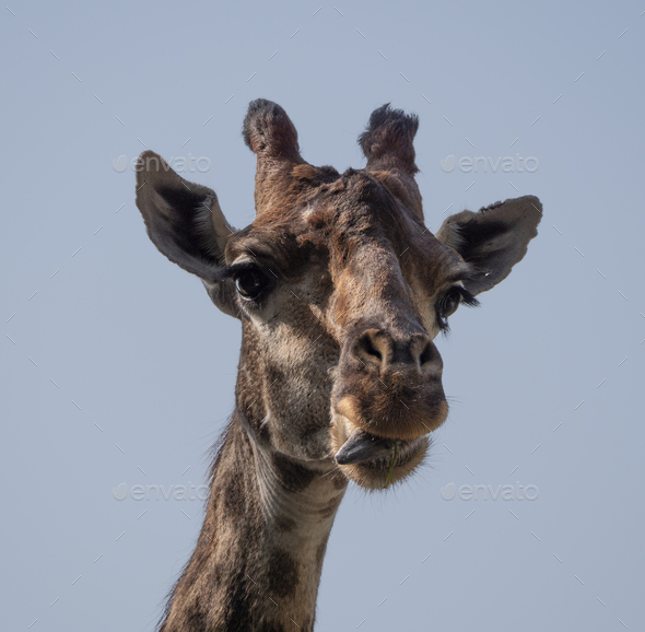 Beautiful Giraffe Stands Tall On Blue Sky Background. - Stock Photo - Images