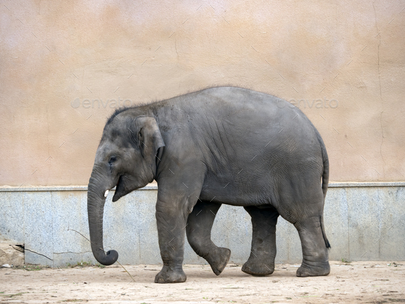 Little Elephant A Walks One Summer Day. - Stock Photo - Images