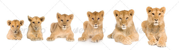 lion cub growing from 3 to 9 months in front of a white background - Stock Photo - Images