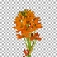 Time lapse of growing, opening and rotating orange african lily flower with ALPHA channel - VideoHive Item for Sale