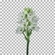 Time lapse of growing, opening and rotating white african lily flower with ALPHA channel - VideoHive Item for Sale