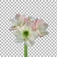 Time lapse of growing and rotating amaryllis Apple Blossom flower with ALPHA channel - VideoHive Item for Sale