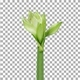 Time lapse of growing and rotating amaryllis Arctic White flower with ALPHA channel - VideoHive Item for Sale