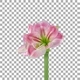 Time lapse of growing and rotating Candy Floss amaryllis flower with ALPHA channel - VideoHive Item for Sale