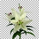 Time lapse of growing, opening and rotating white stargazer lily flower with ALPHA channel - VideoHive Item for Sale