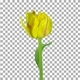Time lapse of growing, opening and rotating yellow tulip with ALPHA channel - VideoHive Item for Sale