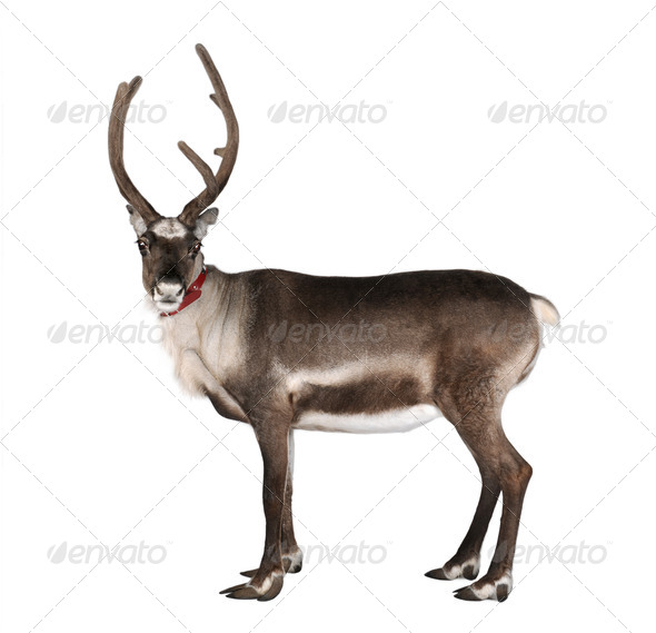 reindeer, side view, looking at the camera - Stock Photo - Images