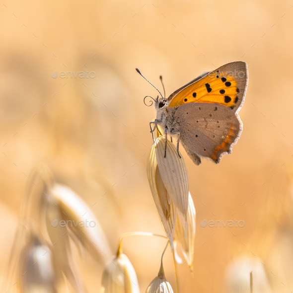 Small copper cereal field - Stock Photo - Images