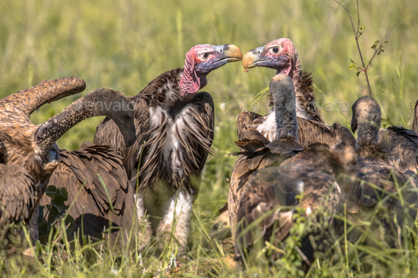African vultures safari - Stock Photo - Images