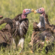 African vultures safari - PhotoDune Item for Sale