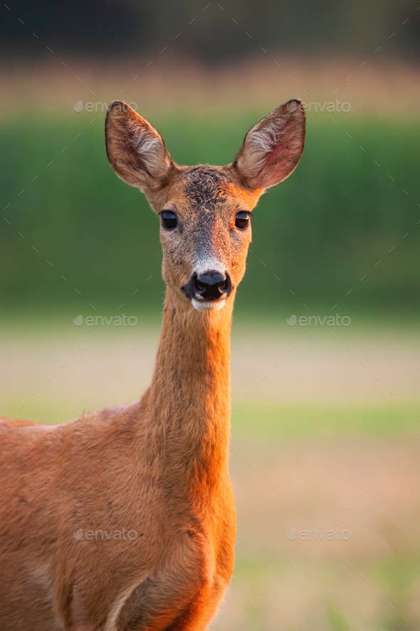 Roe deer doe watching on field in summer from close up - Stock Photo - Images