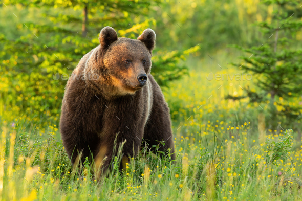 Majestic brown bear standing on meadow in summer nature - Stock Photo - Images