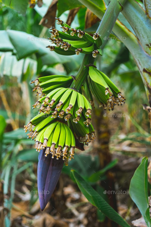 Banana fruits on the way a Paul valley on Santo Antao, Cape Verde - Stock Photo - Images