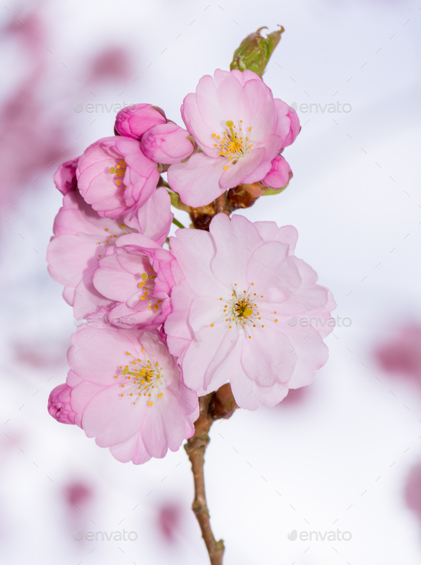 Beautiful pink cherry blossoms - Stock Photo - Images