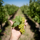 hand holding a bunch of green wine grapes in front of vineyard - PhotoDune Item for Sale