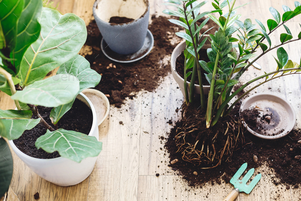 Ficus Lyrata tree and zamioculcas plant on floor with roots, ground and gardening tools - Stock Photo - Images