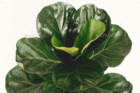 Ficus Lyrata. Beautiful fiddle leaf tree leaves on white background - Stock Photo - Images