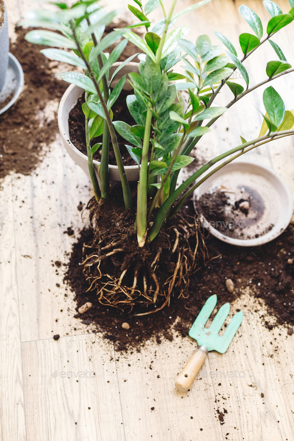 Repotting plants at home - Stock Photo - Images