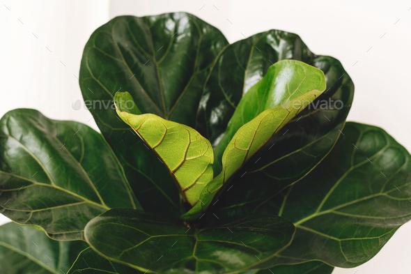 Ficus Lyrata. Beautiful fiddle leaf tree leaves on white background - Stock Photo - Images