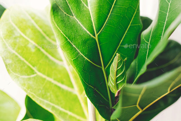 Beautiful fiddle leaf tree leaves on white background - Stock Photo - Images