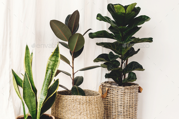 Ficus , Fiddle leaf fig tree, snake sansevieria plants in pots on sunny white background - Stock Photo - Images