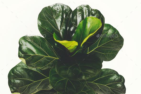 Ficus Lyrata - Stock Photo - Images