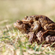 Pair of the Brown Frog in a Grass - Reproduction - PhotoDune Item for Sale