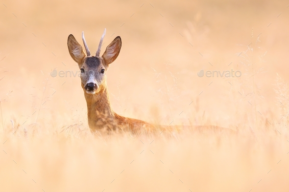 Alert roe deer buck hiding on a grain field and looking into camera in summer - Stock Photo - Images