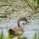 Juvenile Mute Swan - PhotoDune Item for Sale