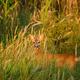 Roe deer buck - PhotoDune Item for Sale