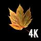 Autumn Maple Leaf Floating Revolving in Transparent Background - 4K - VideoHive Item for Sale