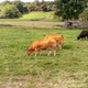 Cows on a grass field - PhotoDune Item for Sale