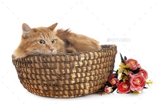 siberian cat in studio - Stock Photo - Images